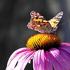 Painted Lady Drinking Nectar  by Jan  Tribe