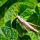 female grasshopper by sergeylukianov