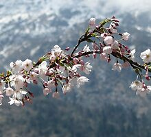 Himalayan Apple Blossoms by Cedar Wolf