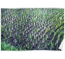 Rice Seedlings, Ubud, Bali Poster