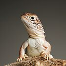 Central Netted Dragons by Shannon Wild