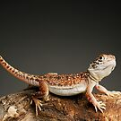 Central Netted Dragon (Ctenophorus nuchalis) by Shannon Wild