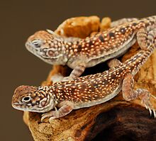 Central Netted Dragons (Ctenophorus nuchalis) by Shannon Benson