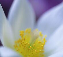 white Pasque flower by John Glover