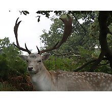 Stag-11 Photographic Print