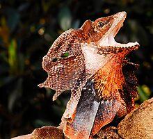Frilled Lizard (Chlamydosaurus kingii) by Shannon Benson