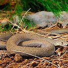 Common Scaly-Foot (Pygopus lepidopodus) by Shannon Wild