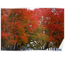 Berkeley Fall Colors 2008 Poster
