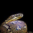 Diamond Python (Morelia spilota spilota) by Shannon Benson