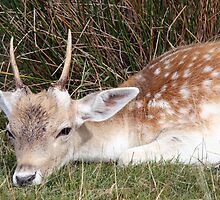 Young Buck in Grass by Dawn OConnor