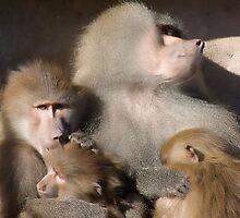 Baboons by Nick Potts