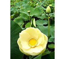 Yellow Lotus Photographic Print