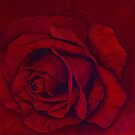 Red rose by Lynne Kells (earthangel)