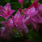 Rhododendron #3 by Trevor Kersley