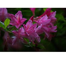 Rhododendron #3 Photographic Print