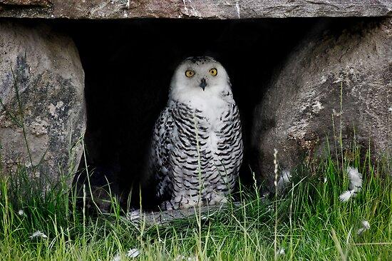 Snowy Owl  by Elaine  Manley