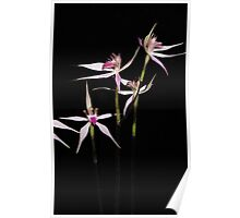 Spidery Native orchid Poster