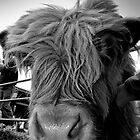 Highland Cow.... not to be confused with Lowland Cow by Mark Elshout
