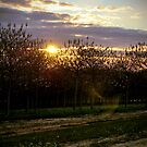 Sunset behind cherry trees by Erin-Louise Hickson