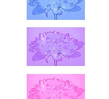 Dahlias by Sandra O'Connor