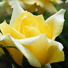 Jodi's Roses 1 by Ms.Serena Boedewig
