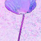 Purple poppy field by Sandra O'Connor
