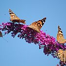 The Butterfly Bush by FelicityB