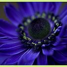 living velvet - anemone  by picketty