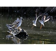 """May We Join You?"" Greater and Lesser Yellowlegs Photographic Print"