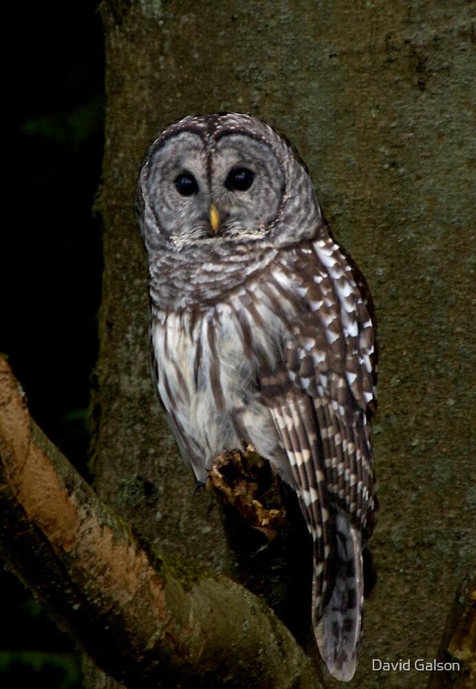 Barred Owl - Spirit Park, BC by David Galson