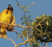 Southern Masked Weaver, Tanzania, Africa by Adrian Paul