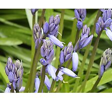 Why So Blue Belle? Bluebell Photographic Print