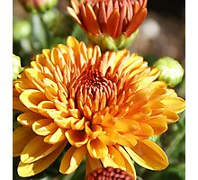 Colors Of Fall; Mums in my back yard All Rights Reserved Lei Hedger 2009 Photographic Print