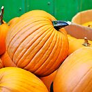 Pick Your Perfect Pumpkin! by Carol Clifford