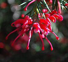 Red Grevilleas  by Lozzar Flowers & Art