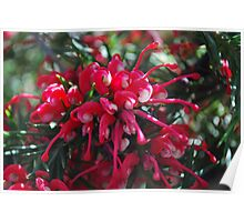 Grevillea, wonderful bunch Poster