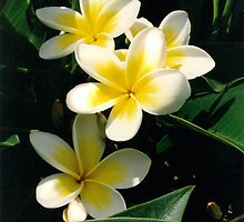 White Frangipani Trio by Robyn Williams