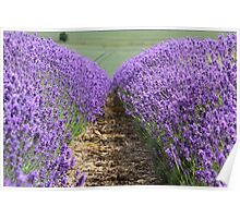 lavender fields in england Poster