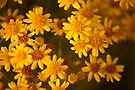 Yellow flowers shower by steppeland