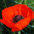 Giant Red Poppy by jojobob