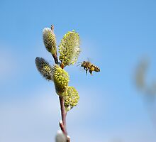 The Pussy Willow and the Bee by vanStaffs