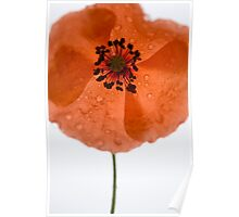 Poppy with tears Poster
