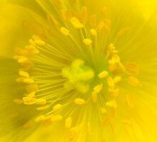 Yellow poppy by Sandra O'Connor