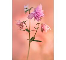 Pink columbine flowers Photographic Print