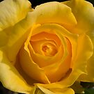 Yellow Rose by Daniel Rayfield