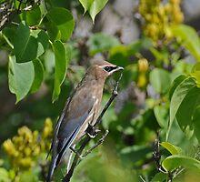 Juvenile Cedar Waxwing by Lynda   McDonald