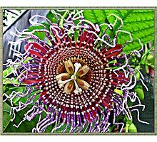 """ Passion Flower"" Photographic Print"