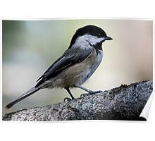 Black-Capped Chickadee Regal Pose Poster
