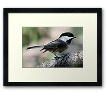 The Lovely Profile of a Black-Capped Chickadee Framed Print