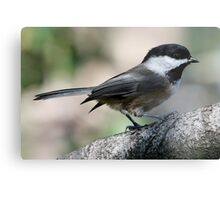 The Lovely Profile of a Black-Capped Chickadee Metal Print